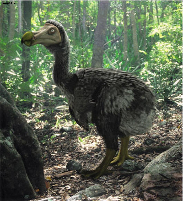 Real dodo